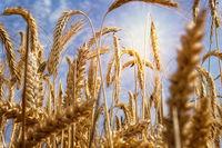 Wheat field in strong sun
