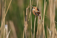 Bearded reedling Hungary
