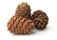 Ripe pine cones full of nuts