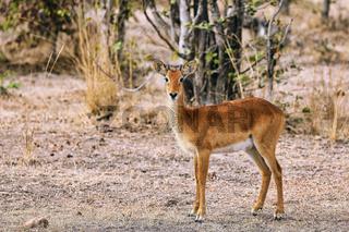 Puku, South Luangwa Nationalpark, Sambia, (Kobus vardonii) |  Puku, South Luangwa National Park, Zambia, (Kobus vardonii)