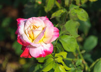 Beauty Rose