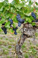 Rote Weintrauben kurz vor der Reife
