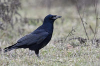 Rook * Corvus frugilegus *, in winter, typical surrounding, wildlife, Europe