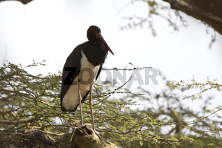 black stork that sits on a branch of a large tree in the Ngorongoro crater