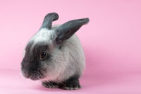 Lop Rabbit on Isolated Background
