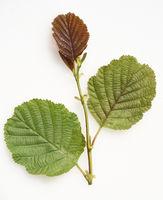 Erlenblatt, Blatt, Erle, Schwarzerle, Alnus, glutinosa