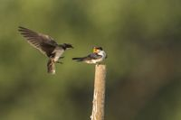 Wire-tailed swallow, Hirundo smithii, Ghansoli, Maharashtra, India.
