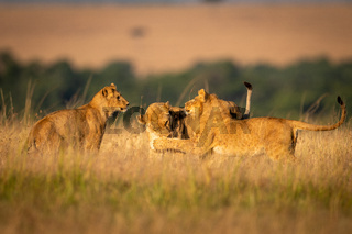 Lioness watches as two others play fight