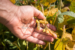 Soybean pods on soybean plantation, on farmer open palm hand background, close up.