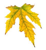 Yellowed autumn leaf on white background