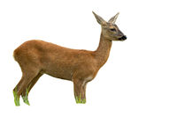 Roe deer doe in summer standing and looking away isolated on white background