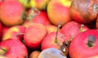 Closeup of heap of rotten red apples.