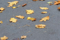 Autumn yellow dry oak leaves on asphalt