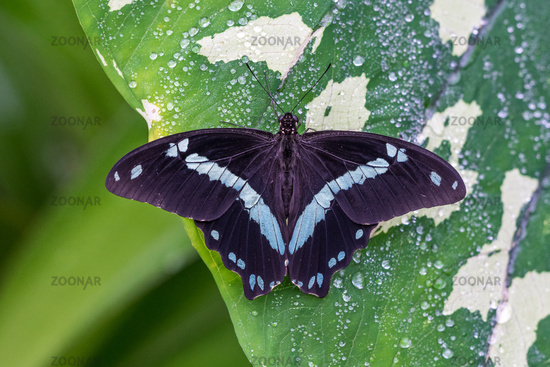Blue morpho butterfly or the emperor, morpho peleides resting on a flower