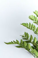 Fern leaf represented by the reverse side on a gray background with bright light and space for text. Foliage background. Top view