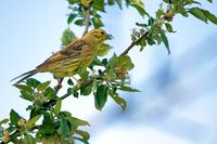 Yellowhammer in spring