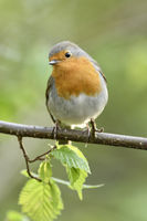 Robin Redbreast * Erithacus rubecula * in spring