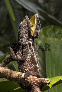 Panther-Chamäleon (Calumma parsonii), Ankanin Ny Nofy, Madagaskar