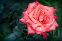 Beautiful blossoming rose against the green of the leaves