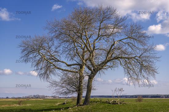 Island Ummanz - The tree on the pasture