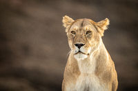 Close-up of sitting lioness with scarred face