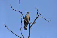Oriental honey buzzard, Pernis ptilorhynchus, Bandhavgadh, Madhya Pradesh, India