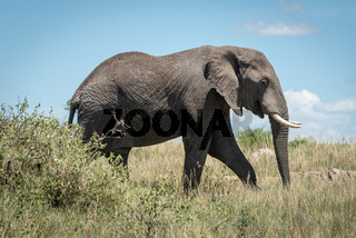 African elephant walking behind bush in savannah