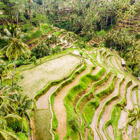 Drone view of Tegalalang rice terrace in Bali, Indonesia, with palm trees and paths for touristr to walk around plantations