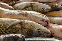 Atlantic Sea fresh fish for sale