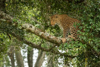 Leopard sits on branch framed by leaves