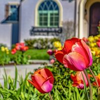 Square Radiant tulips blooming in the garden of a home on a sunny spring day