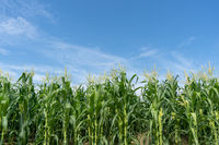 Corn field plantation