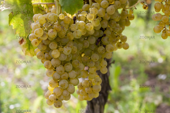 White wine grapes on the vine