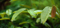 Detail on large thick green leaves with drops of morning dew, shallow depth of field photo, wide banner with space for text on left side - African rainforest jungle background