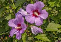 'Hibiscus genus'