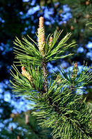 Mountain pine close up. Beautiful natural background
