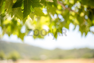 Green background from leaves and maple tree fruits in the sunny day