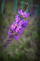Beautiful flower shrub buddleia in the background of the garden