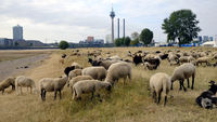 Flock of sheep on the Rhine