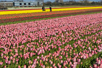 Anbau von Tulpen zur Produktion von Blumenzwiebeln in der Blumenzwiebelregion Bollenstreek