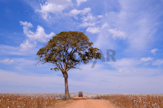 Old german vintage campervan and tree in the middle of a cotton field in Campo Verde, Mato Grosso, Brazil