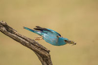 Flying European roller with grasshopper in its beak - start