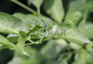 Libellenpaarung, Gemeine Becherjungfer (Enallagma cyathigerum),