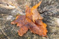 Autumn maple leaf lying on old stump