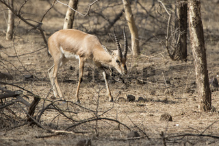 male Indian gazelle or chinkara that walks through a bush forest on a winter day