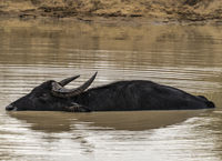 Yale NP - Wild Buffalo