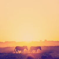 Zebra Sunset Botswana