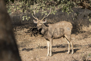 male sambar who feeds in the winter Indian forest in the sun on the edge of the forest