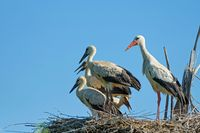 white stork with kids on the nest