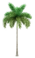 foxtail palm tree isolated on white background